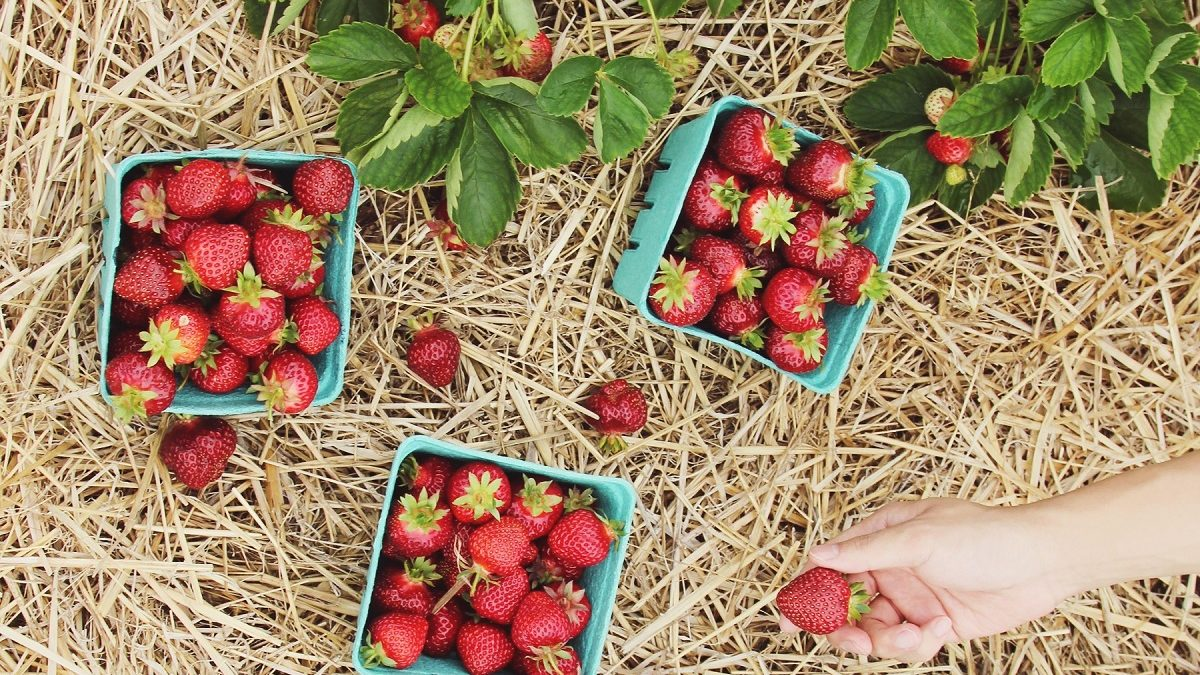 Erdbeeren Stroh Hand | München mit Kind