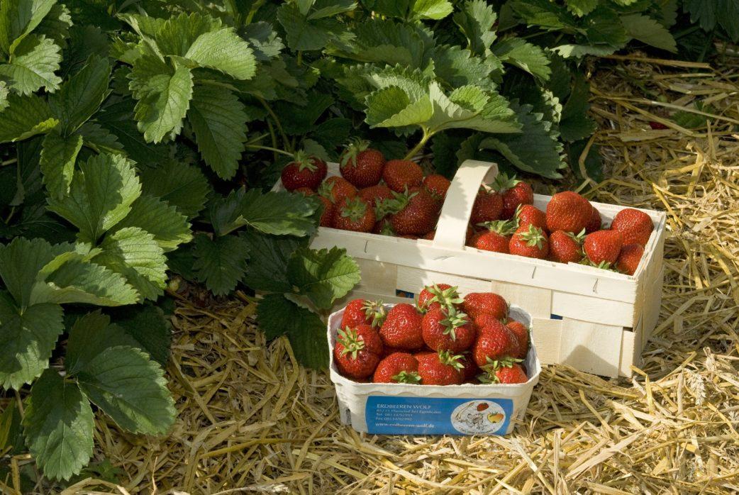 Die 10 fruchtigsten Erdbeerfelder bei München | Muenchen mit Kind