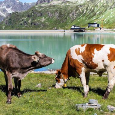 Kühe am See | München mit Kind