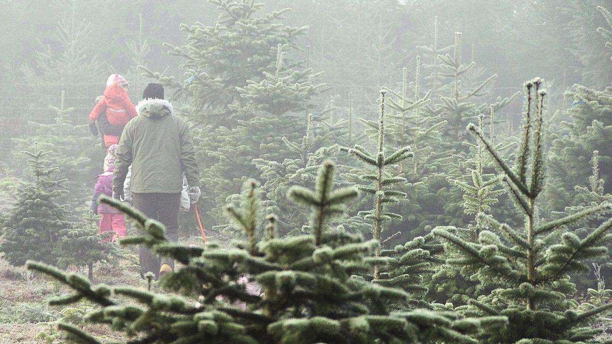 Impressionen Tannenbaum.Auf Zum Fröhlichen Weihnachtsbaumschlagen Himbeer