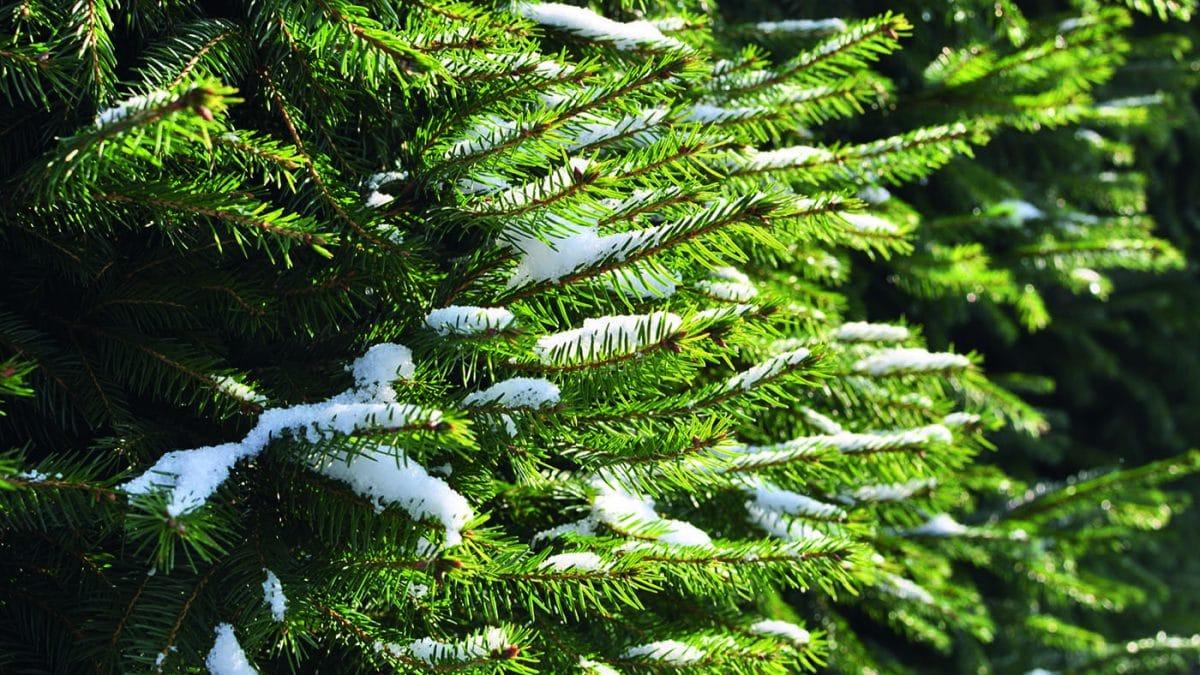 Tanne Weihnachtsbaumschlagen // HIMBEER