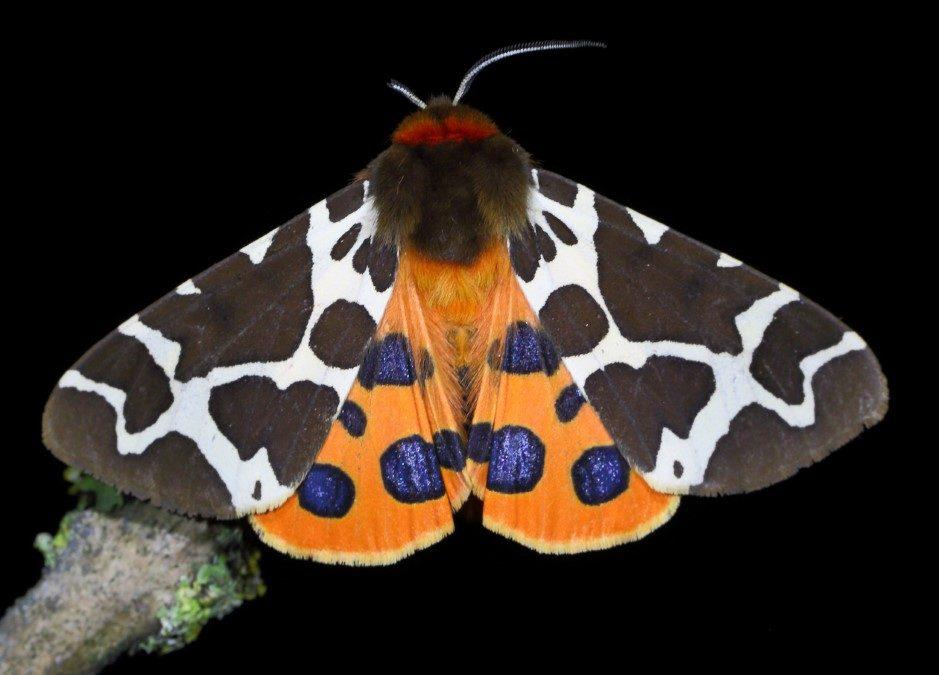 Schmetterlinge // HIMBEER