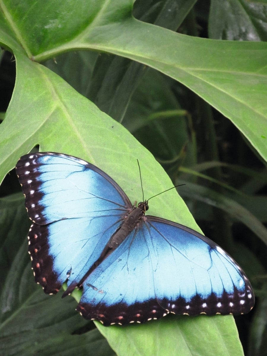Schmetterlinge Botanischer Garten Zoologische Sammlung // HIMBEER