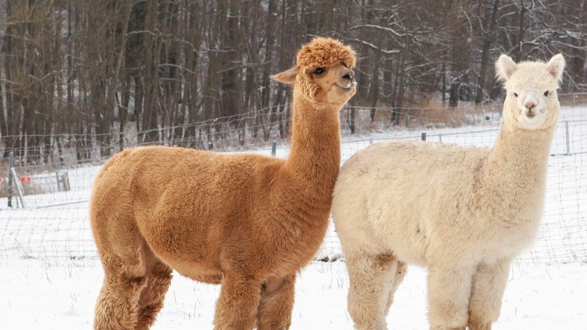Alpaka und Lama im Schnee