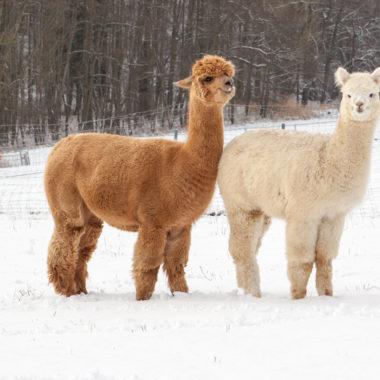 Alpaka und Lama im Schnee // HIMBEER