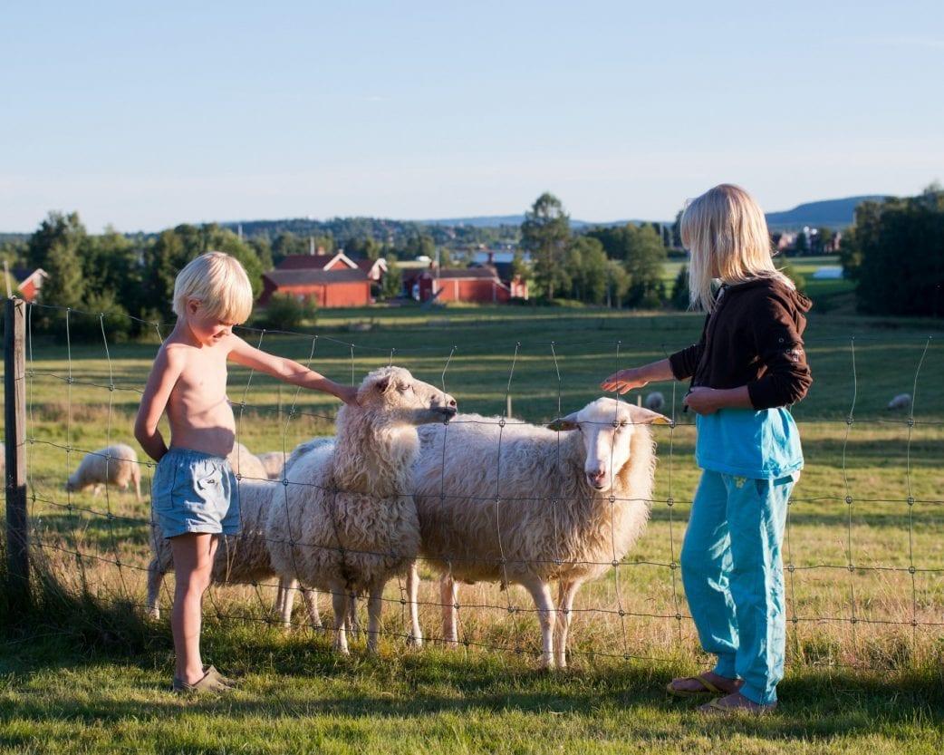 Schweden Schafe Kinder Fjordkind // HIMBEER