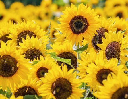 Sonnenblumen Gaertnerjahrfest // HIMBEER