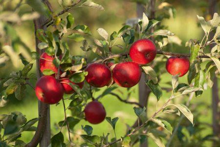 Apfelbaum Apfel Apfelmarkt Bad Feilnbach // HIMBEER
