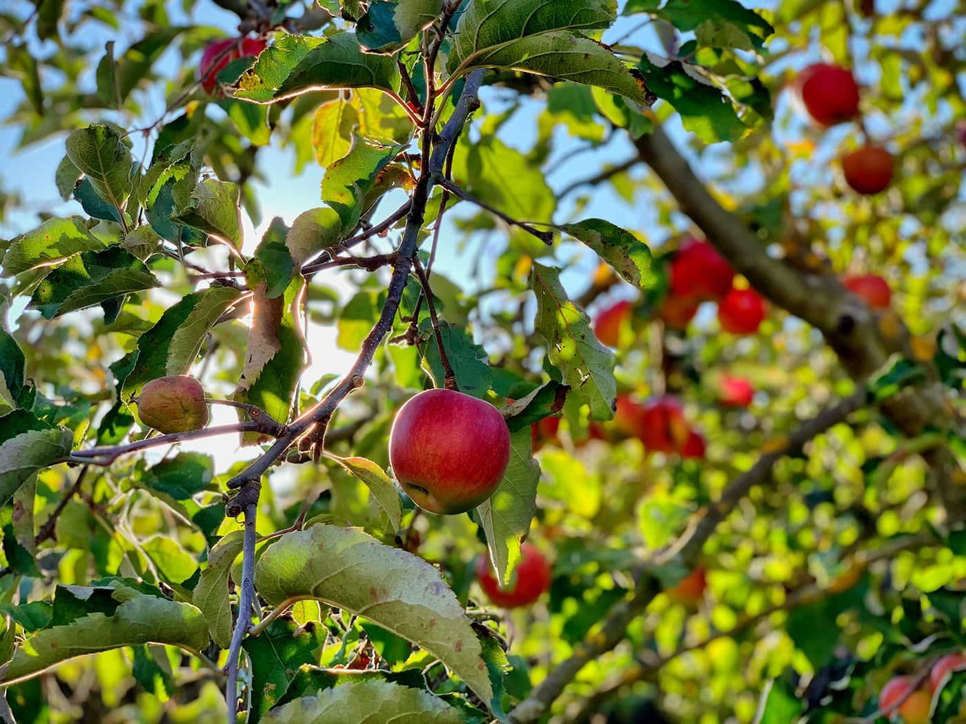 Apfelfelder Ente Aepel // HIMBEER
