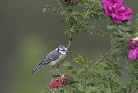 Stunde der Gartenvögel // HIMBEER