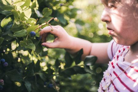 Heidelbeeren pflücken – Beerenfelder // HIMBEER