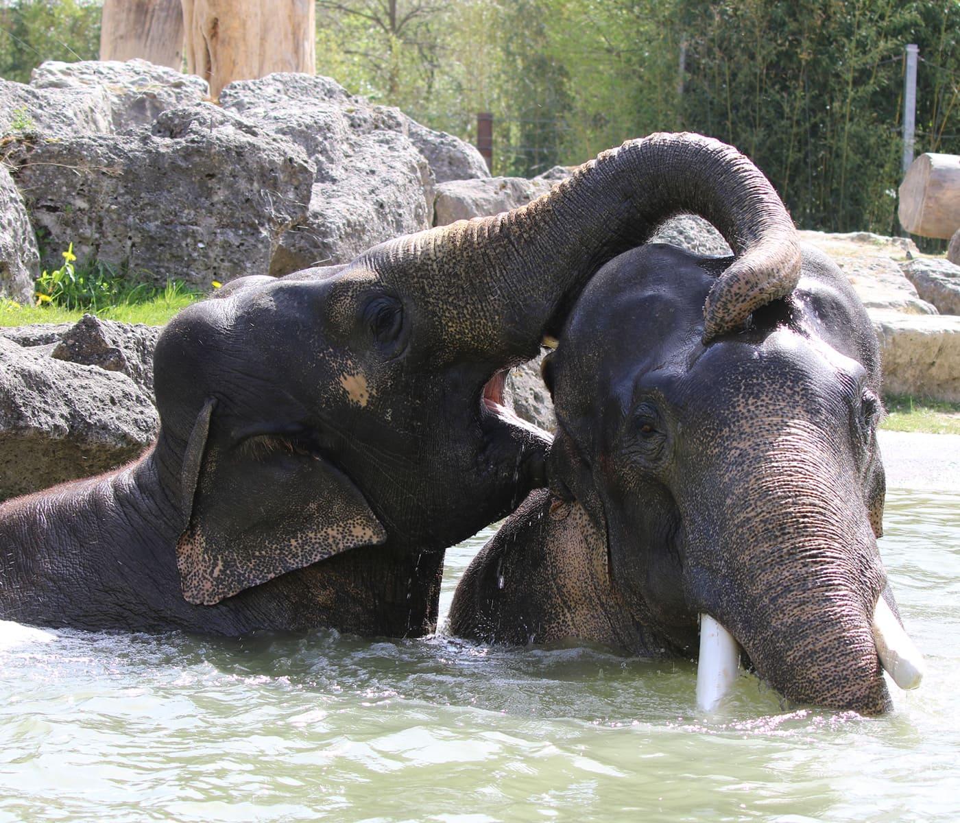 Sommerausflug mit Kindern in den Tierpark Hellabrunn München: Badende Elefanten // HIMBEER