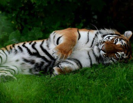 Sommerausflug mit Kindern in denTierpark Hellabrunn München: Dösender Tiger // HIMBEER