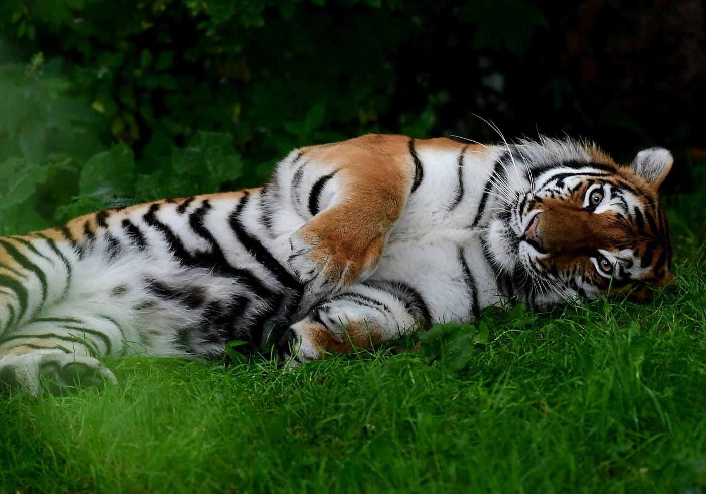 Sommerausflug mit Kindern in den Tierpark Hellabrunn München: Dösender Tiger // HIMBEER