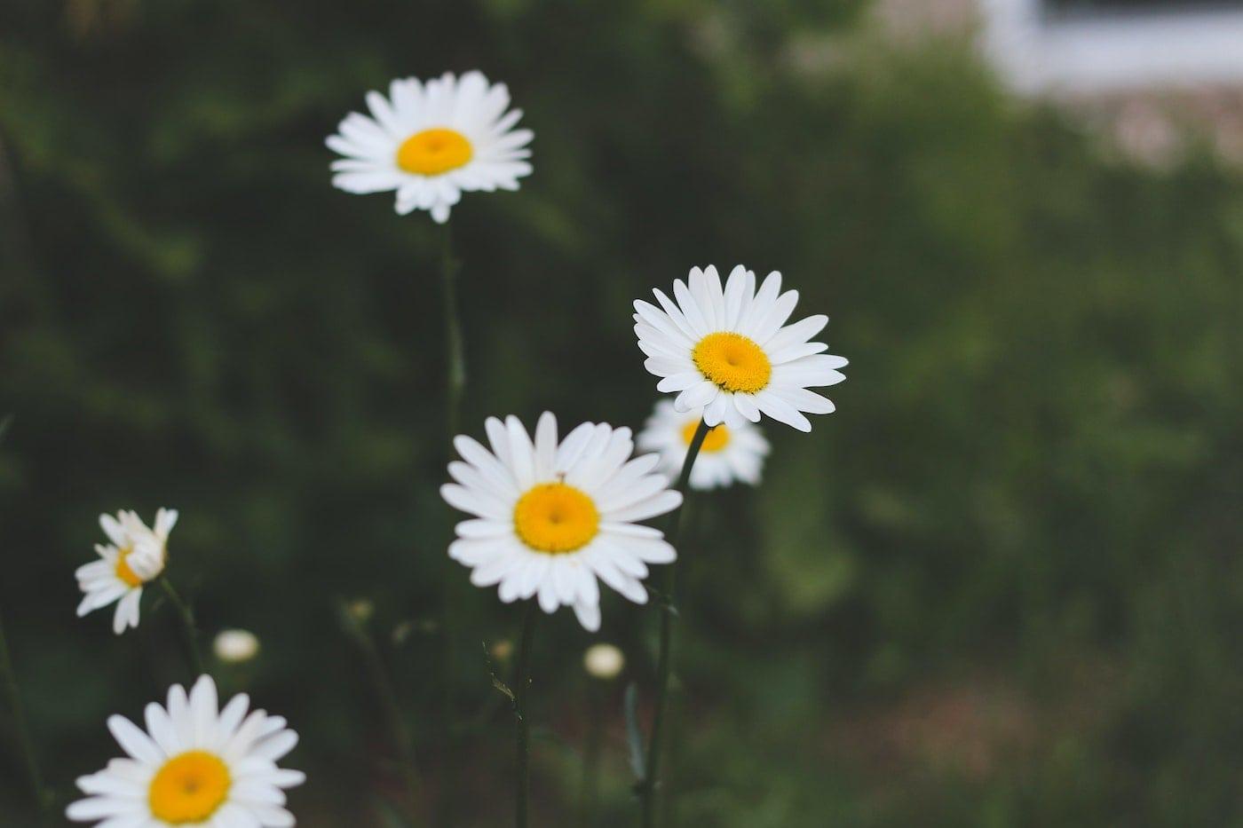 Kamillen für die Blumengirlande // HIMBEER