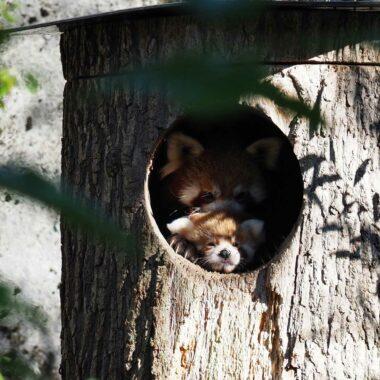 Rote Pandas im Tierpark Hellabrunn München mit Nachwuchs // HIMBEER