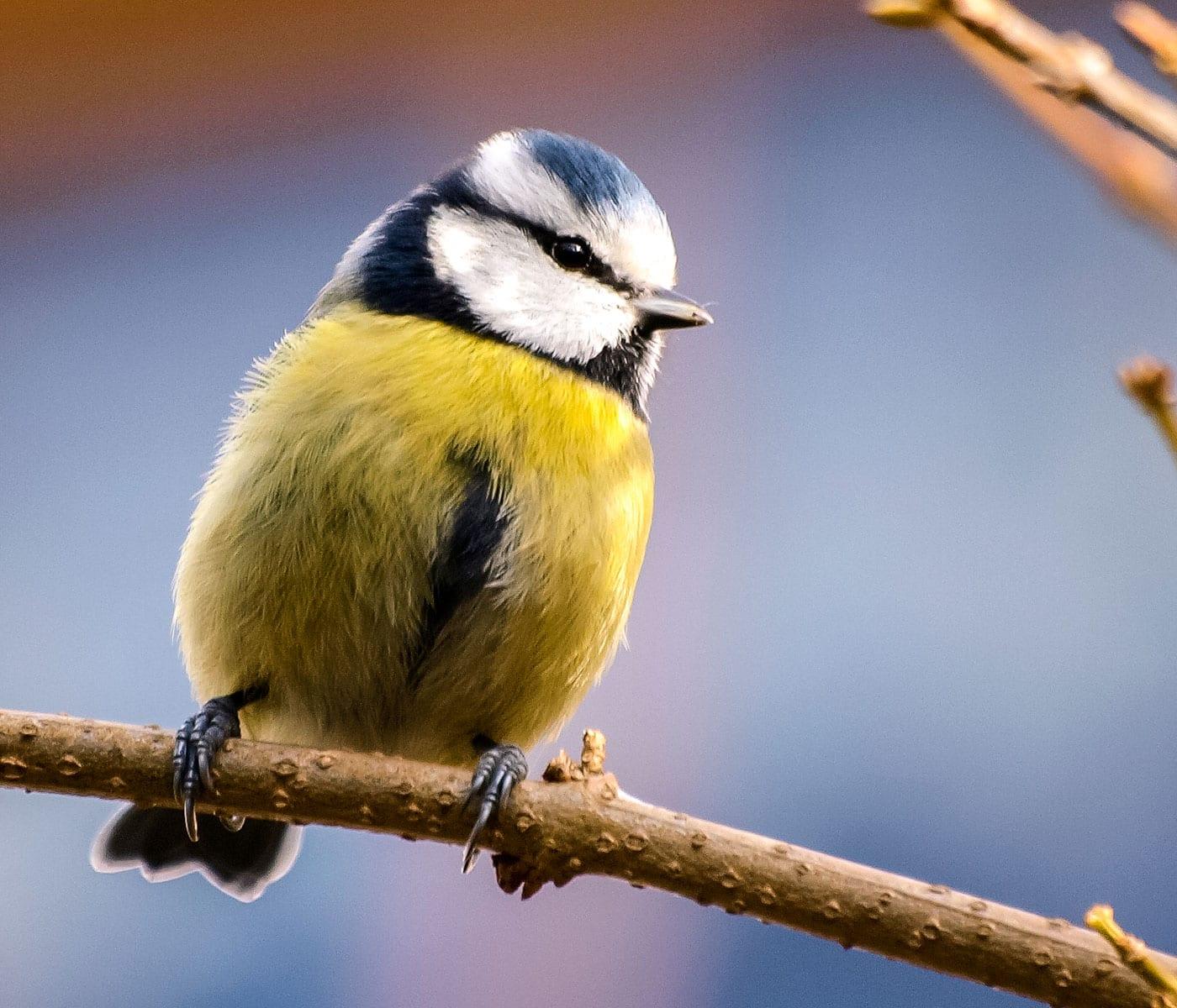 Wahl zum Vogel des Jahres 2021: Blaumeise // HIMBEER
