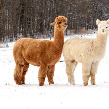 Wanderungen mit Lamas und Kindern in der Nähe von München: Alpaka und Lama im Schnee // HIMBEER
