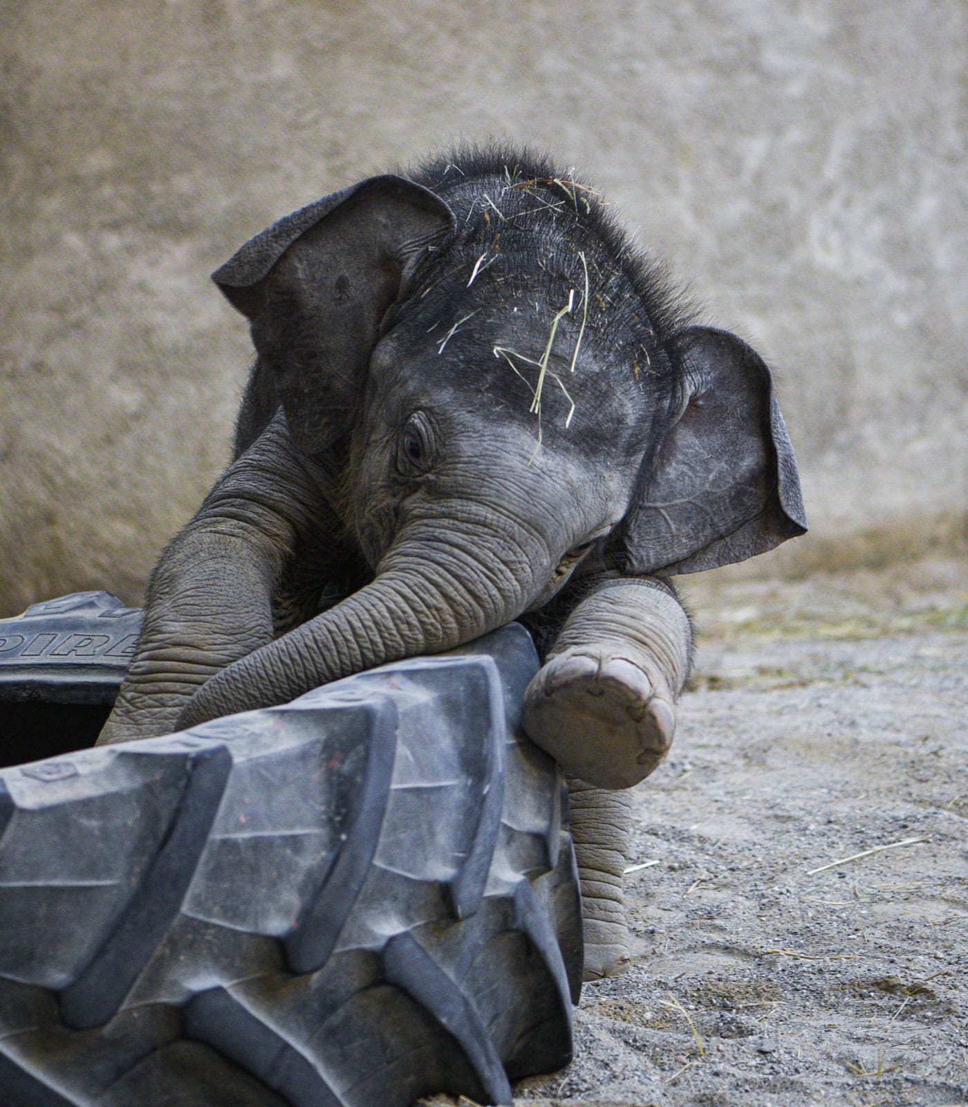 "Zoo-Podcast ""Mia san Tier"" aus dem Tierpark Hellabrunn München: Elefantenbaby Otto // HIMBEER"