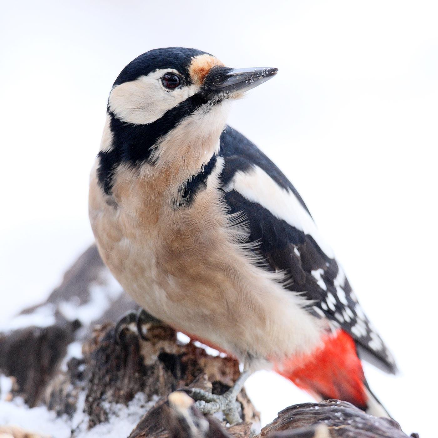 Stunde der Wintervögel 2021: Buntspecht // HIMBEER