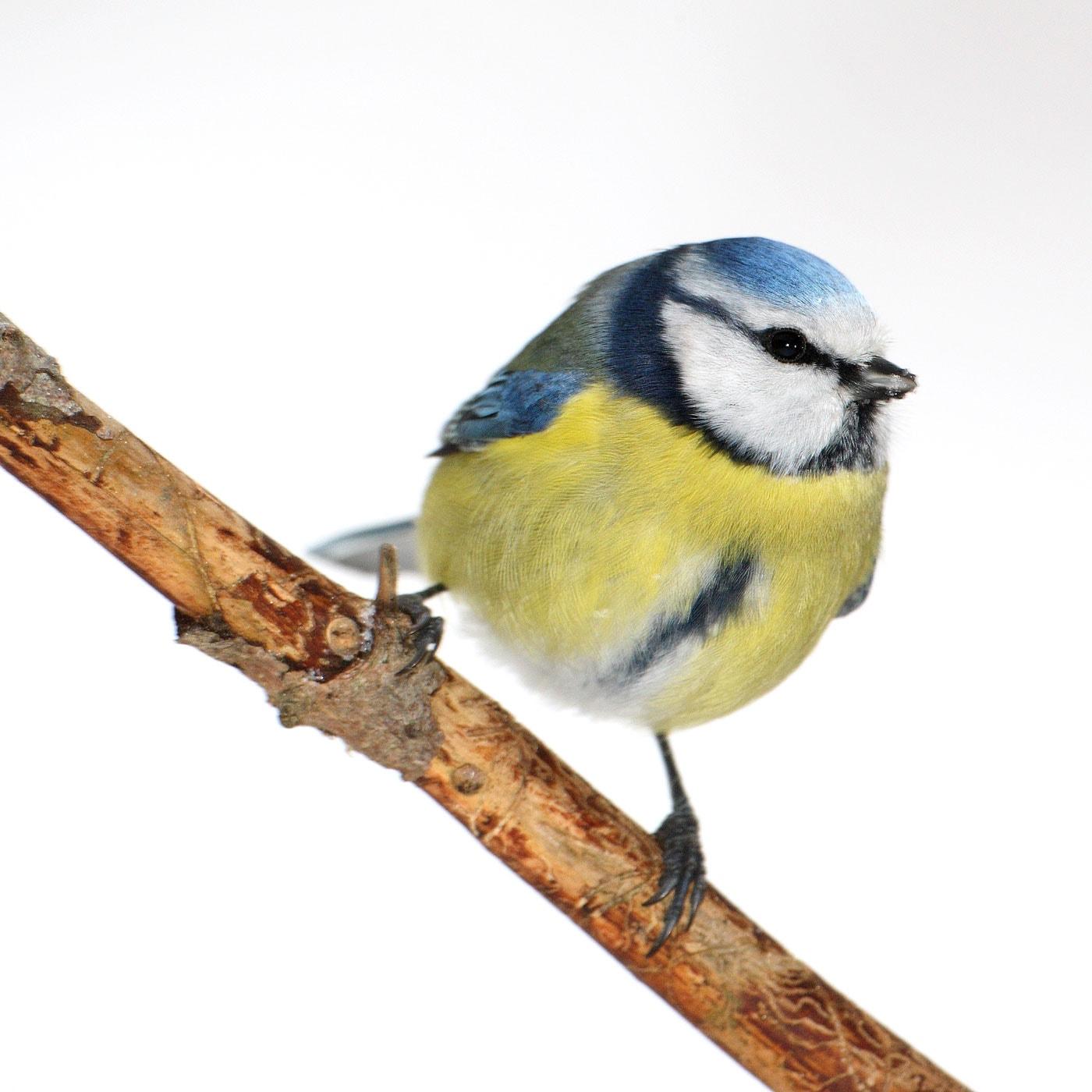 Stunde der Wintervögel 2021: Blaumeise // HIMBEER