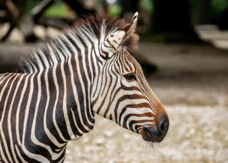 Ausflug in den Zoo: Zebra im Tierpark Hellabrunn in München // HIMBEER