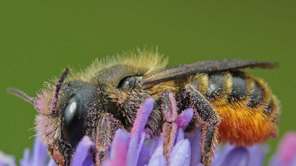 Bienenfreundliche Pflanzen und Flächen: Distel-Mauerbiene schützen // HIMBEER