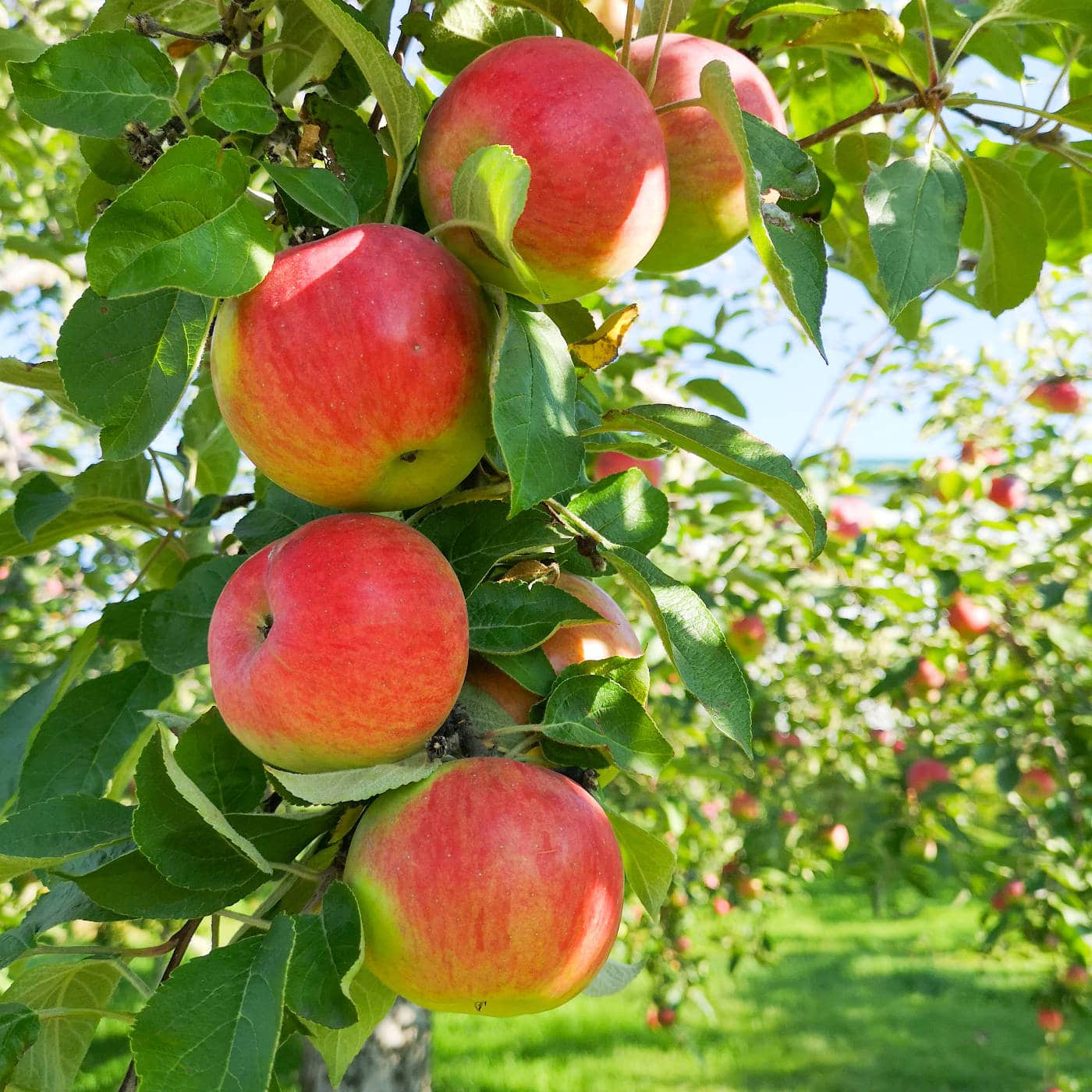 Äpfel zum Herstellen von Apfelessig // HIMBEER