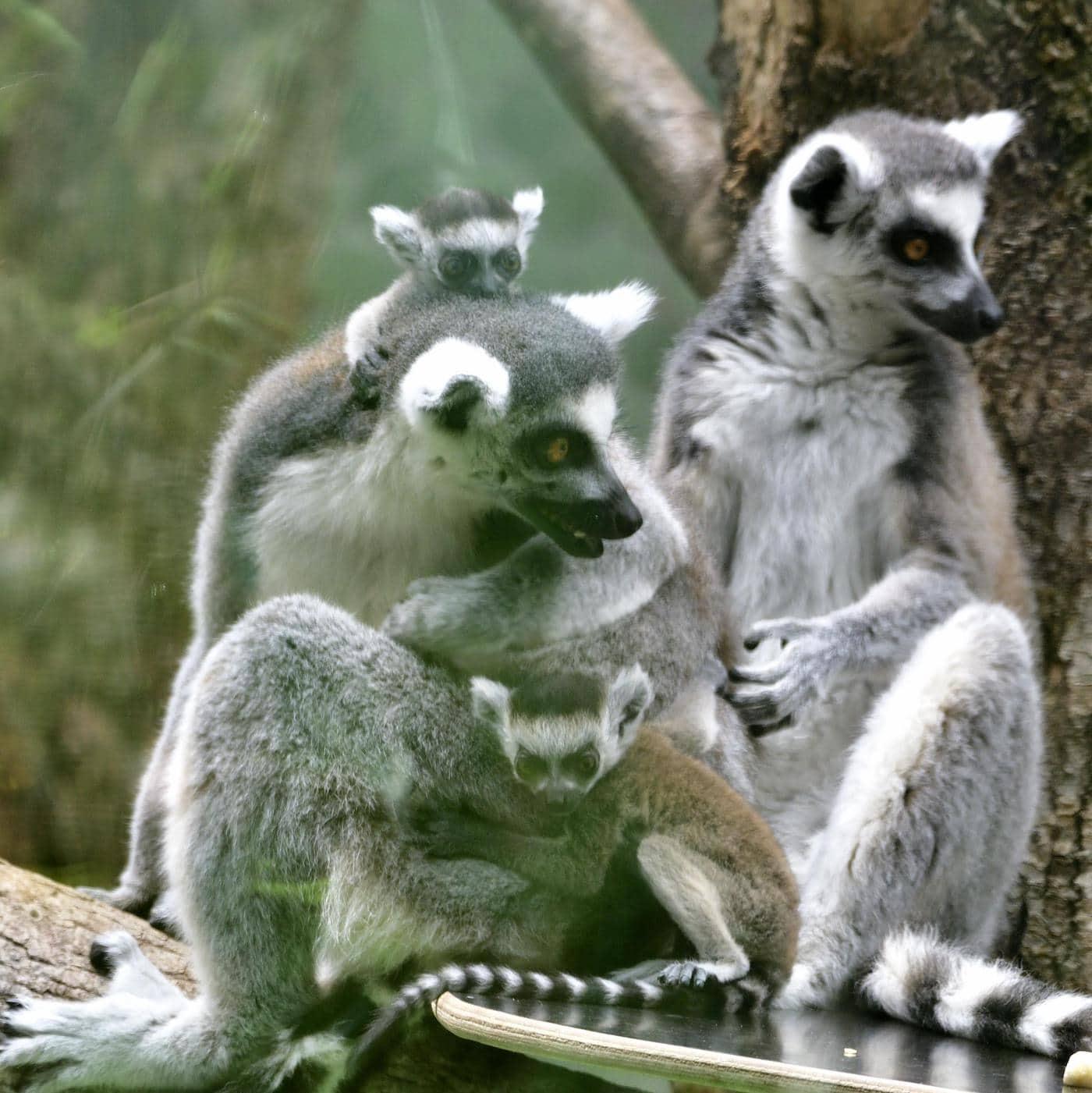 Die Katta Familie im Tierpark Hellabrunn ist ein Ausflug mit Kindern wert // HIMBEER