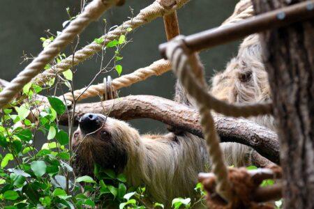 Das Faultier in Hellabrunn im Tierhaus // HIMBEER